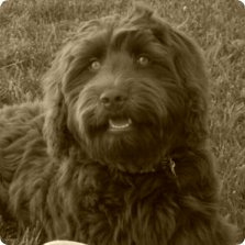 Australian Labradoodle Breeder, Labradoodle Puppies in South